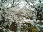 Sakura331
